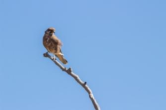 Faucon bérigora, Falco berigora, Pilbara