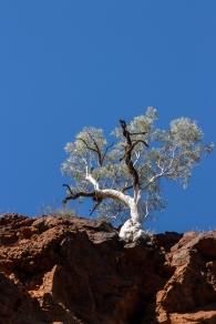 Les eucalyptus poussent partout. Dales Gorge, Karijini National Park