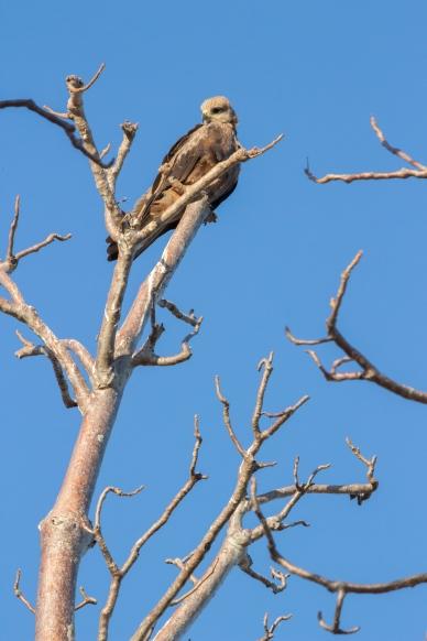 Milan noir en haut d'un baobab, Milvus migrans, Derby, WA