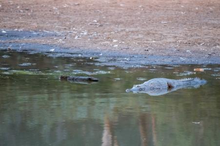 Crocodile de Johnston, Crocodylus johnstoni, Windjana Gorge National Park, WA