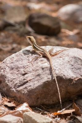 Dragon d'eau de Gilbert, Lophognathus gilberti, Litchfield National Park