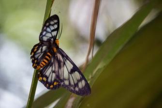Dysphania numana, Kakadu National Park