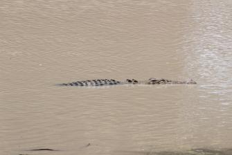 Crocodile marin, Crocodylus porosus, Kakadu National Park