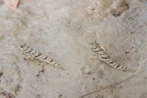 Poissons-grenouilles, Periophthalmus novaeguineaensis, Kakadu National Park