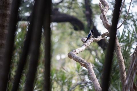 Martin-chasseur forestier, Todiramphus macleayii, Darwin Botanic Gardens