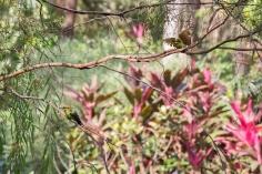 Guêpiers arc-en-ciel, Merops ornatus, Darwin Botanic Gardens