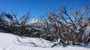 Eucalyptus brûlés en été, couverts de neige en hiver. Mount Buller