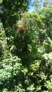 Donc voilà la forêt. Va trouver un casoar là-dedans... Daintree Discovery Centre