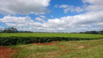 Plantation de thé, Nerada Tea Factory