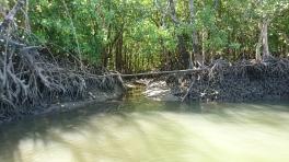 La mangrove au bord de Cooper Creek, Daintree Rainforest