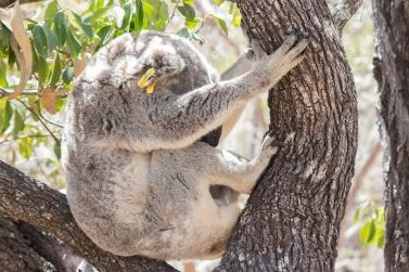 Koala (bagué !), Phascolarctos cinereus, Magnetic Island