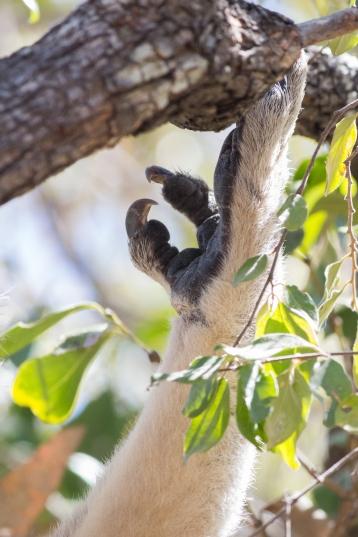 Koala, Phascolarctos cinereus, Magnetic Island