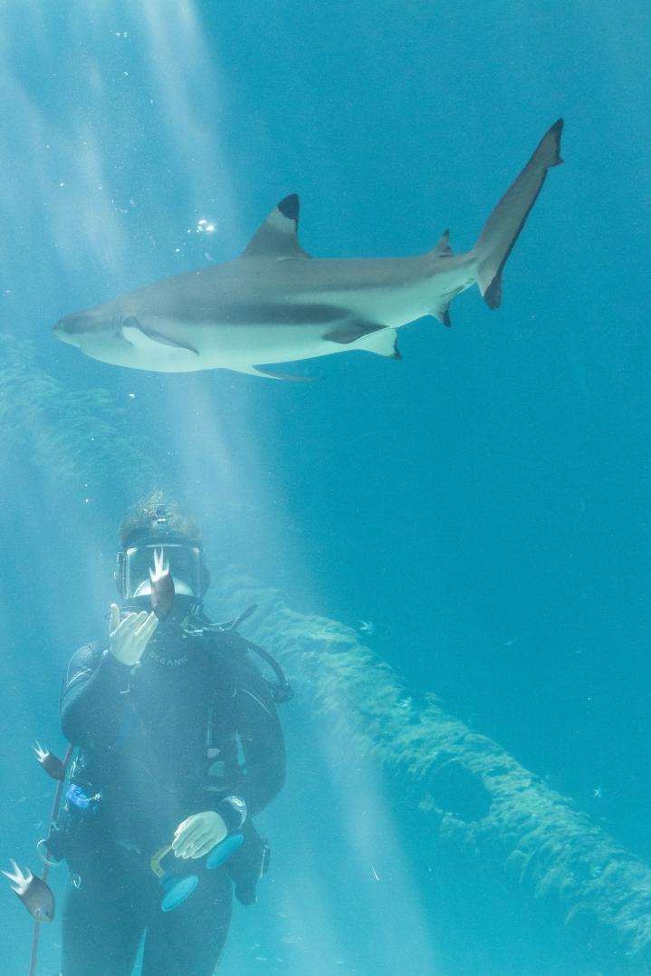 "Alors, ""requin"" = ""danger public"" ? Reef HQ Aquarium, Townsville"