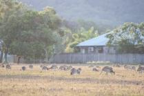 Wallabies agiles dans un pré pour chevaux, Macropus agilis, Cairns