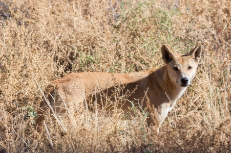 Dingo, Canis lupus dingo, Kings Canyon National Park, NT