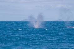 Baleines à bosse, Megaptera novaeangliae, Whitsundays