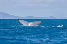 Baleine à bosse, Megaptera novaeangliae, Whitsundays