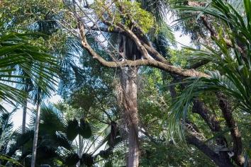 Pont de traversée d'animaux (koalas, possums, etc), Botanic Gardens, Cairns