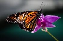 Monarque, Danaus plexippus, serre des Botanic Gardens, Cairns