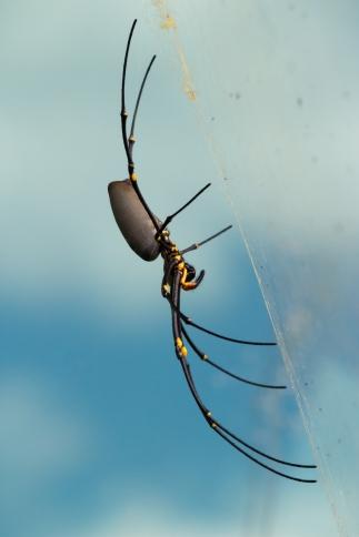 Énorme femelle Nephila plumipes, Mossman Gorge, Daintree Rainforest