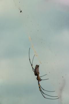 Vous voyez le mâle ? Nephila plumipes, Mossman Gorge, Daintree Rainforest