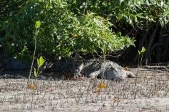 Femelle crocodile marin, Crocodylus porosus, Cooper Creek, Daintree Rainforest