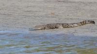 Jeune mâle crocodile marin, Crocodylus porosus, Cooper Creek, Daintree Rainforest