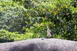 Cormoran pie, Microcarbo melanoleucos, Babinda boulders