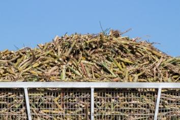 Récolte de cannes à sucre