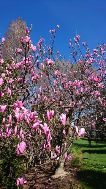 Le printemps est là. St Davids Park, Hobart, Tas