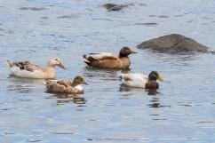 Canards pas encore identifiés, Dunalley, Tasman Peninsula
