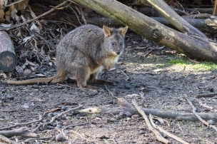 Pademelon à ventre rouge, Thylogale billardierii, Tasmanian Devil Unzoo, Tas
