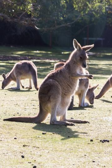 Kangourou géant, Macropus giganteus, Tasmanian Devil Unzoo, Tas
