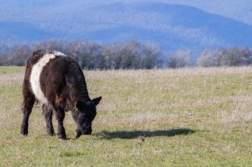 Une des nombreuses vaches de Tasmanie, d'une des nombreuses races élevées. Evandale