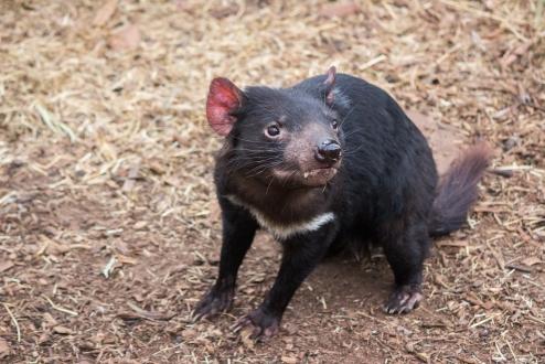Diable de Tasmanie, Sarcophilus harrisii, Bonorong Wildlife Sanctuary, Tas