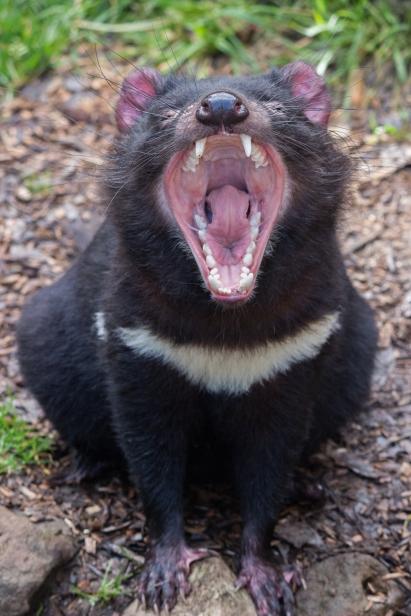 Mais que tu as de grandes dents ! Non elle ne grogne pas, elle baille. Devils@Cradle, Cradle Mountain