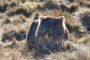 Wombat commun, Vombatus ursinus, Cradle Mountain Lake St Clair National Park