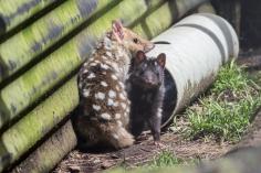 Les deux couleurs de chats marsupiaux mouchetés, Dasyurus viverrinus, Devils@Cradle, Cradle Mountain