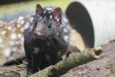 Chat marsupial moucheté, Dasyurus viverrinus, Devils@Cradle, Cradle Mountain