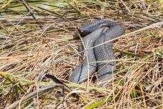 Serpent tigre, Notechis scutatus, Cradle Mountain Lake St Clair National Park