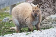 Certains wallabies dans Cradle Mountain sont dorés, comme les échidnés. Wallaby de Bennett, Macropus rufogriseus, Cradle Mountain Lake St Clair National Park