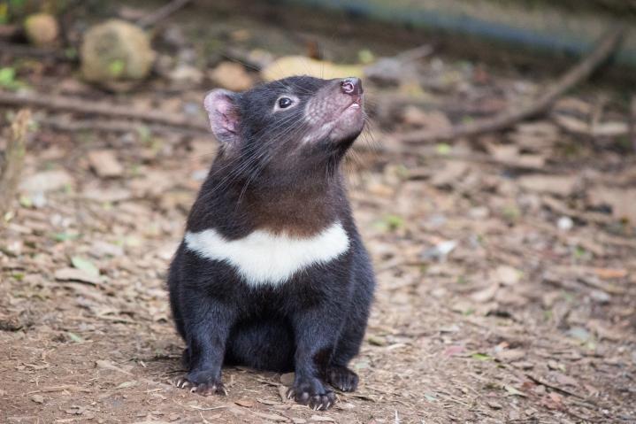 Jeune diable de Tasmanie de 8 mois, Sarcophilus harrisii, Devils@Cradle, Cradle Mountain